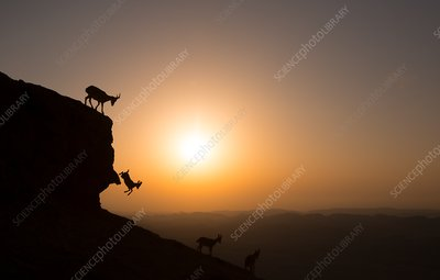 Nubian ibex at sunrise