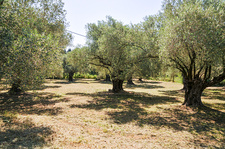 Olive tree orchard, Israel