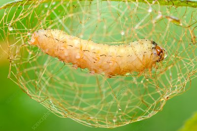 Caterpillar building cocoon