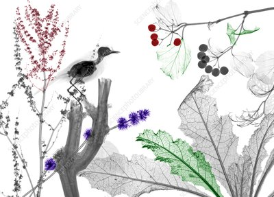 Robin perching among garden plants, X-ray