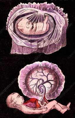 Human embyro development, 19th Century illustration
