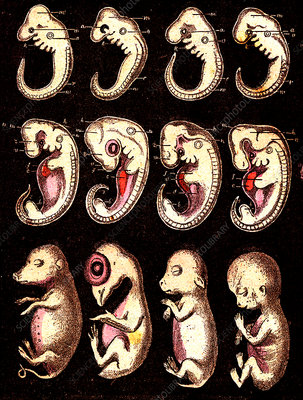 Animal embyro development, 19th Century illustration
