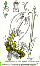 Insect pollination, 19th Century illustration