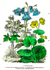 Ranunculaceae plants, 19th Century illustration