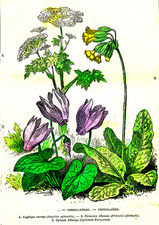 Umbelifers and primroses, 19th Century illustration