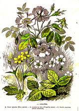 Rosaceae plants, 19th Century illustration
