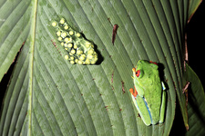 Red-eyed tree frog and eggs