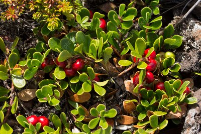 Bearberry fruit