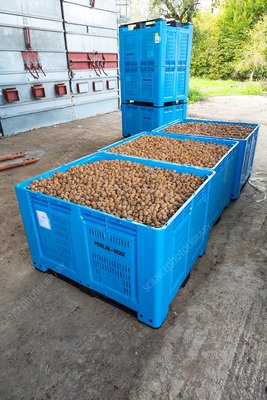 Crates of walnuts after processing