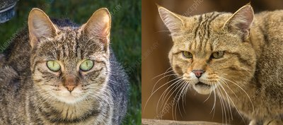 Feral cat and wildcat compared