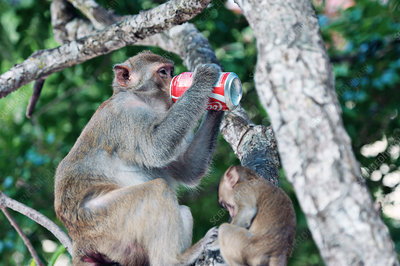 Macaque monkey drinking from a can