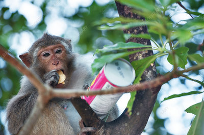 Macaque monkey eating crisps