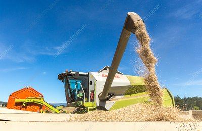 A combine harvester discharges wheat.
