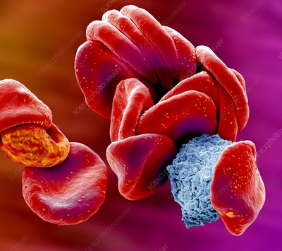 Blood cells, SEM