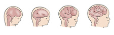 Foetal brain development, illustration