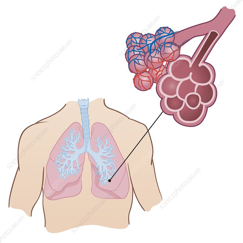 Lung anatomy, illustration - Stock Image C038/1370 - Science Photo ...