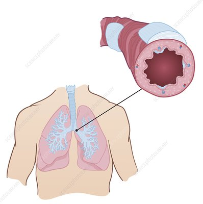 Pulmonary bronchiole, illustration