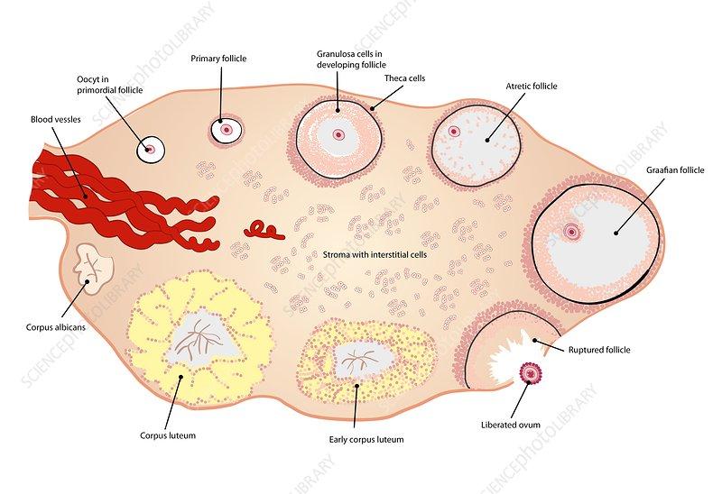 ovulation, illustration - stock image - c038/1443 - science photo library