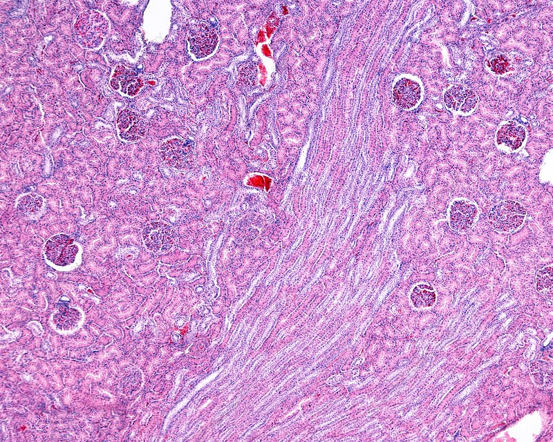 Renal cortex, light micrograph