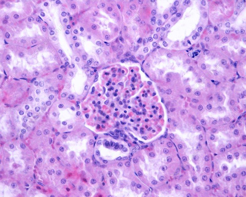 Kidney macula densa, light micrograph