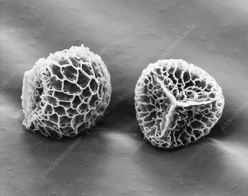 Stag's-horn clubmoss spores, SEM