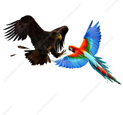 Eagle attacking a parrot, illustration