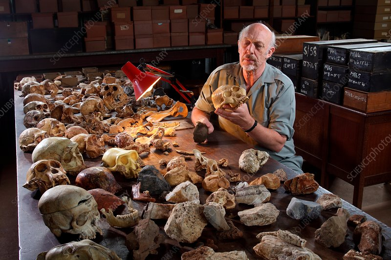 Ronald J. Clark with Australopithecus fossil skull cast