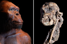 Little Foot Australopithecus fossil and reconstruction