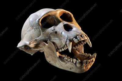 Skull cast of a baboon