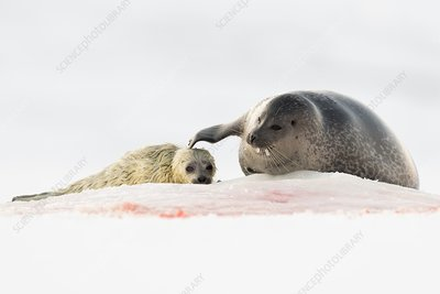 Ringed seal mother and pup