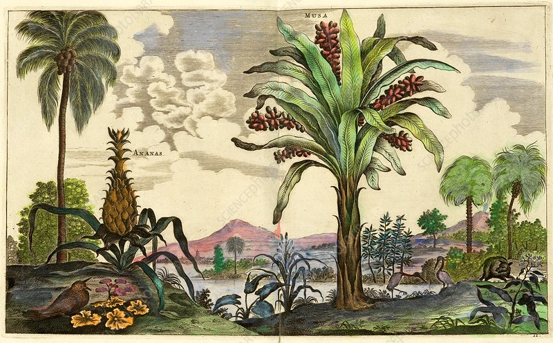 Pineapple plant and banana tree, 17th century