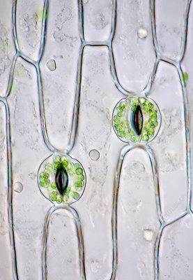Lily of the valley stomata, light micrograph