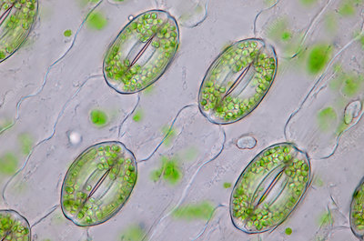 Lily (Lilium sp.) stomata, light micrograph