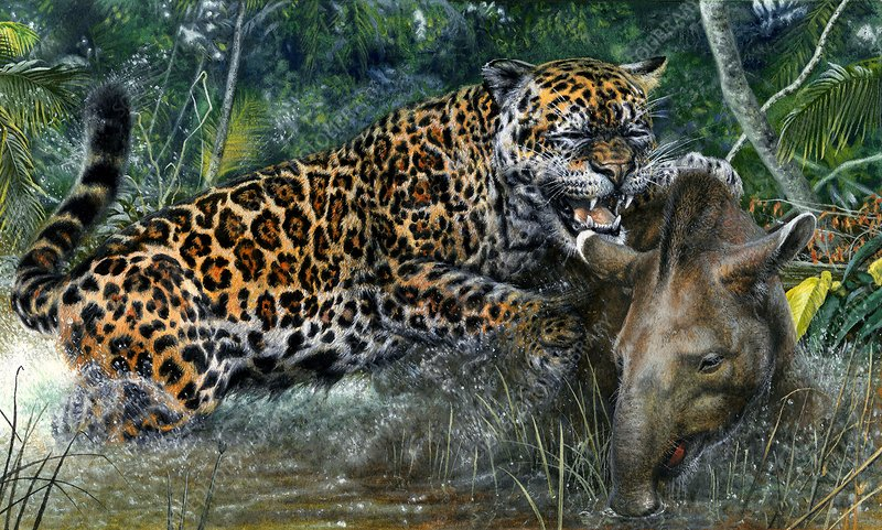 Jaguar hunting a tapir, illustration
