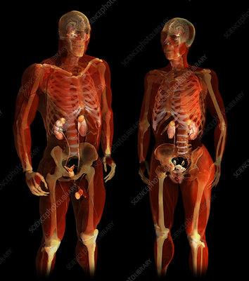 Urinary System of Man and Woman