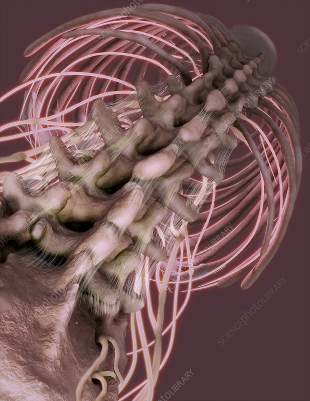 Inferior View of Spine and Intercostal Nerves