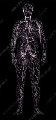 Lymphatic System, Male Figure
