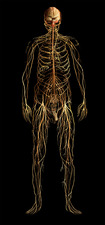 Nervous System, Male Figure