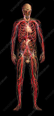 Systems of the Human Body, Male Figure