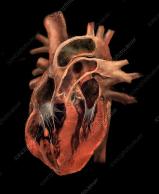 Heart Revealing Chambers and Valves