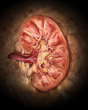 Healthy Kidney, Coronal Section