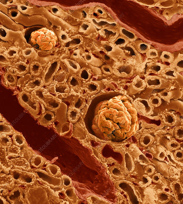 Kidney Cross Section, SEM