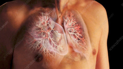 Male Chest Revealing Heart and Lungs