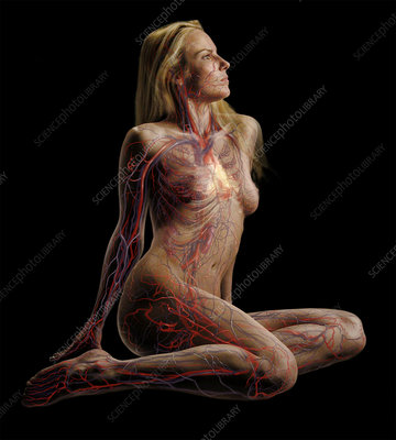 Female Body Showing Circulatory System