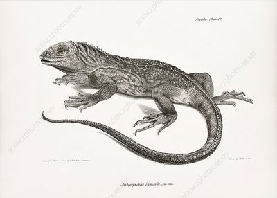 Galapagos land iguana, 19th century