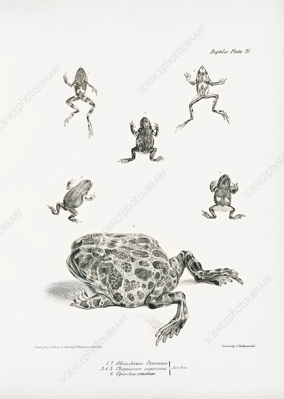South American frogs, 19th century
