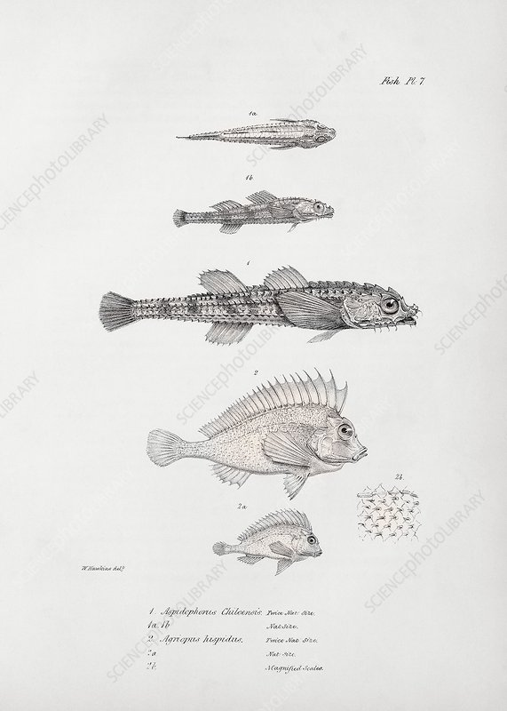Poacher fish and pigfish, 19th century