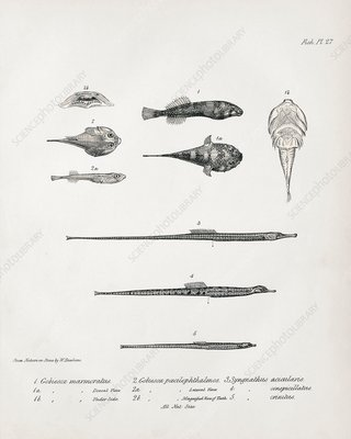 Clingfishes and pipefish, 19th century