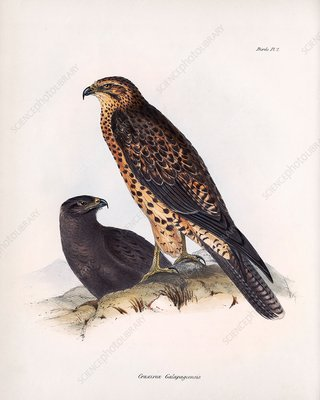 Galapagos hawk, 19th century
