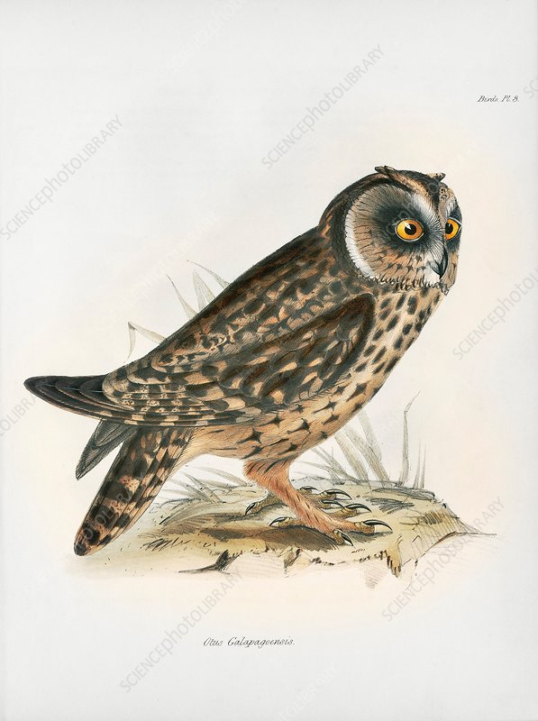 Galapagos short-eared owl, 19th century